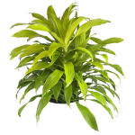 Dracaena Lime Light