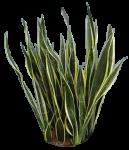 Sansevieria Blackgold