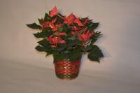 6 Inch Poinsettia
