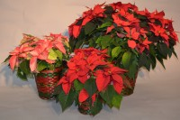3 Sizes Of Poinsettias